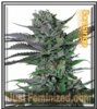 Somango Just Feminized Mix & Match Seeds